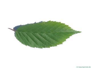 american hornbeam (Carpinus caroliniana) leaf