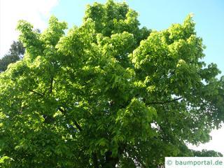 large leaved american lime(Tilia americacna 'Nova') tree in summer