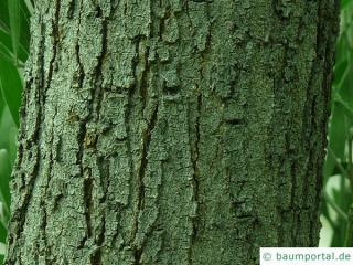 australian blackwood (Acacia melanoxylon) trunk / bark old tree