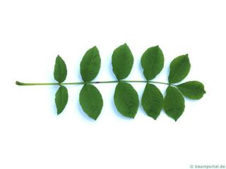 black ash (Fraxinus nigra) leaf