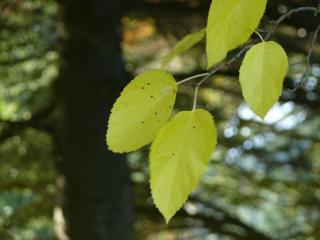 Black mulberry leaf in autumn