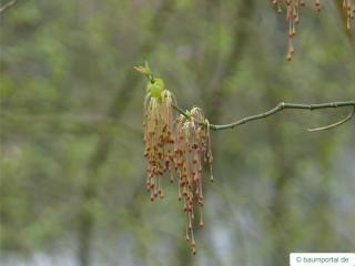 boxelder (Acer negundo) flowers