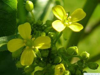 california buckeye (Aesculus californica) flower 2