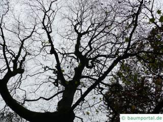 cappadocian maple (Acer cappadocicum) tree in winter