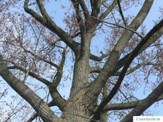 carolina poplar (Populus canadensis) crown in winter