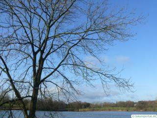 common ash (Fraxinus excelsior) crown wimter