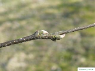 common hackberry (Celtis occidentalis) axial buds
