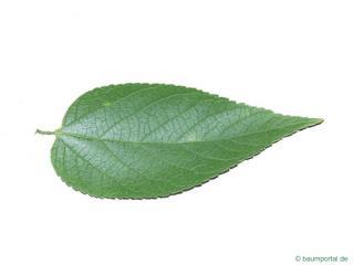 common hackberry (Celtis occidentalis) leaf