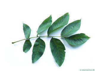 common walnut (Juglans regia) leaf