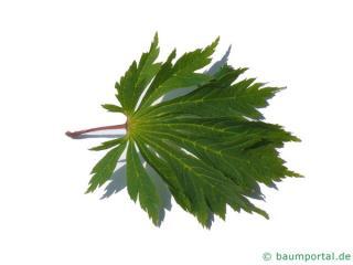 cut leaved japanese maple (Acer japonicum 'Aconitifolium') leaf