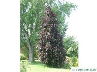 dawyk beech (Fagus sylvatica 'Dawyck Purple') tree in summer