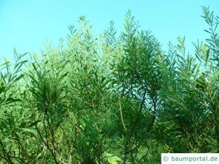 dietrich wattle (Acacia dietrichiana) growth