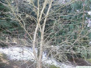 douglas hawthorn (Crataegus douglasii) crown winter