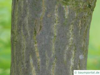 downy japanese maple (Acer japonicum) trunk / bark