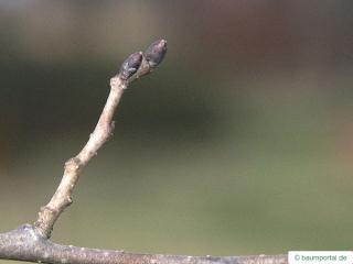 dutch elm (Ulmus hollandica) buds