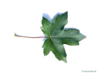 field maple (Acer campestre) leaf