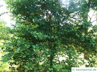 frosted hawthorn (Crataegus pruinosa) tree in summer