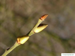 goat willow (Salix caprea) bud