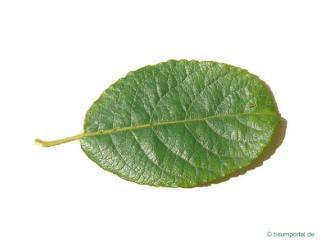 goat willow (Salix caprea) leaf
