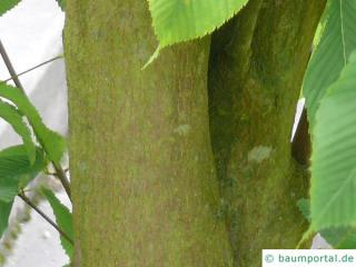 hornbeam maple (Acer carpinifolium) trunk / bark