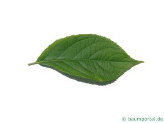 hardy rubber tree (Eucommia ulmoides) leaf