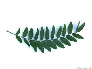 honey locust (Gleditsia triacanthos) leaf