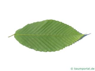 hornbeam maple (Acer carpinifolium) leaf