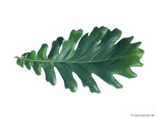 hungarian oak (Quercus fainetto) leaf