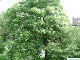 indian bean tree (Catalpa bignonioides) in summer