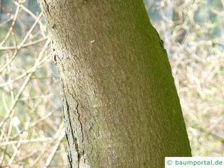 italian maple (Acer opalus) trunk / bark