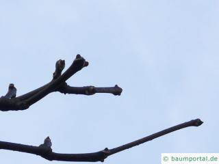 japanese cork tree (Phellodendron japonicum) buds in winter