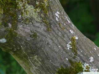 japanese maple (Acer palmatum 'Ozakazuki') trunk / bark