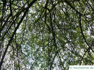 mahaleb cherry (Prunus mahaleb) tree crown