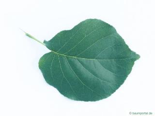 bird cherry (Prunus padus) leaf