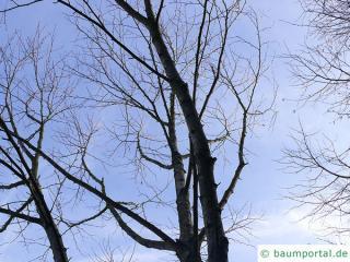 monarch birch (Betula maximowicziana) tree in winter