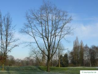 northern red oak (Quercus rubra) tree
