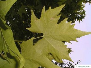oriental plane tree (Platanus orientalis) leaves