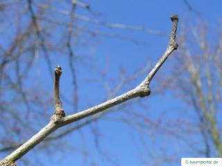 osage orange (Maclura pomifera) bud