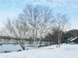 paper birch (Betula papyrifera) tree in winter