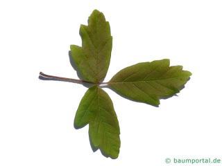 paperbark maple (Acer griseum) leaf