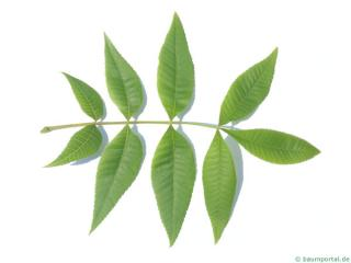 pignut (Carya glabra) leaf