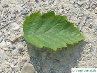 quebec hawthorn (Crataegus submollis) leaf