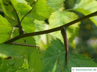 quebec hawthorn (Crataegus submollis) thorns