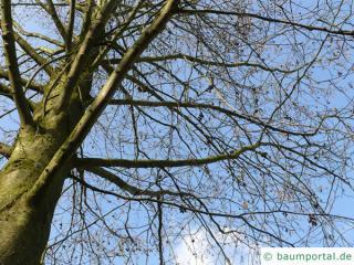 red alder (Alnus rubra) crown in winter