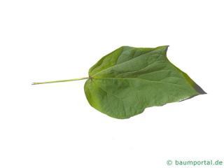 red-leaves catalpa (Catalpa erubescens 'Purpurea') leaf