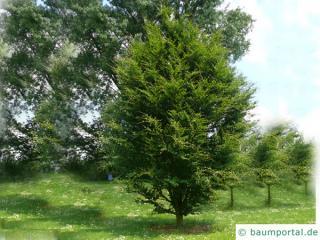 round-leaved beech (Fagus sylvatica 'Rotundifolia') tree in summer