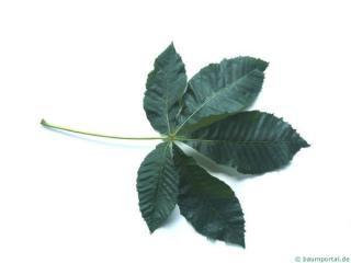 ruby horsechestnut (Aesculus carnea) leaf