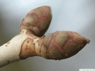ruby horsechestnut (Aesculus carnea) buds
