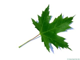 silver maple (Acer platanoides) leaf