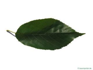 spaeths alder (Alnus spaethii) leaf